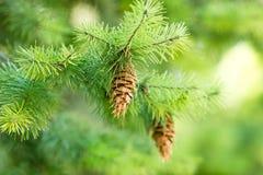 Sörja kotten (pinecone) på en julgran Fotografering för Bildbyråer