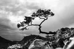Sörja mest berömt träd i Pieniny berg Arkivbilder