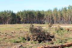 Sörja pinjeskogen, skogsavverkning, sommar arkivbild