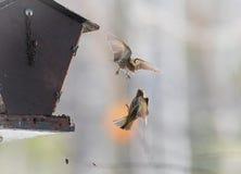 Sörja Siskin finkar (Carduelispinus) - tar till luften i en tumult över territoriet som är över i tre sekunder Royaltyfri Bild