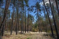 Sörja skogen Arkivbild