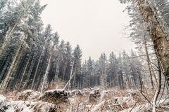 Sörja skogen i vintern Arkivfoton