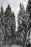 sörja snöig trees arkivfoto