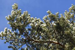 sörja snowtrees Royaltyfri Foto