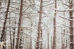 sörja snowtrees Royaltyfri Fotografi