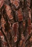 Sörja textur för trädskället, och bakgrund, slut upp sikt av naturligt och organiskt sörjer skällmodellen royaltyfri foto