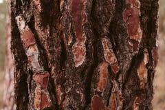 Sörja textur för trädskället, och bakgrund, slut upp sikt av naturligt och organiskt sörjer skällmodellen arkivfoton