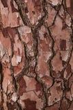 Sörja textur för trädskället, och bakgrund, slut upp sikt av naturligt och organiskt sörjer skällmodellen royaltyfria bilder