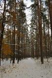 Sörja-trä trädstam i vinterskog Arkivbild