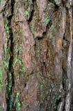 Sörja-trä trädstam i vinterskog Royaltyfri Bild