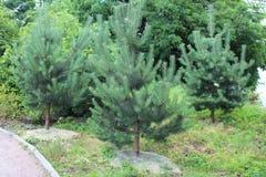 Sörja träd Royaltyfri Bild