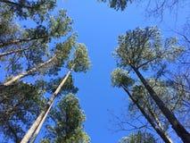 Sörja träd Royaltyfri Foto
