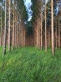 Sörja träd Arkivfoton