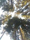 Sörja träd Arkivbild