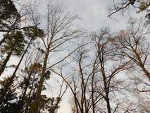 Sörja träd Royaltyfria Bilder