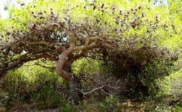Sörja träd av Portugal Royaltyfri Foto