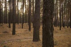 Sörja träd i aftonen för höstskognedgången i bruna färger Fotografering för Bildbyråer