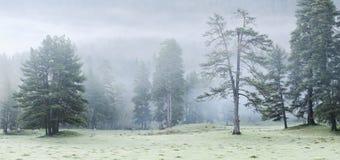 Sörja träd i en röjning i dimman. Bergområde Arhiz. Theberda reserv. Karachay-Cherkessia Fotografering för Bildbyråer