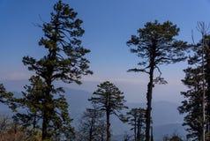 Sörja träd i natur på bakgrund för blå himmel arkivbilder