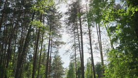 Sörja träd i skogen mot himlen stock video