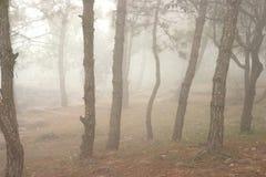 Sörja träd i skogen som täckas i dimma under höst Royaltyfri Fotografi