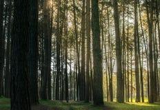 Sörja träd i skogskället, och de högväxta hörnen av högväxt sörjer fotografering för bildbyråer