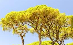 Sörja träd i Tuscany, Italien royaltyfri foto