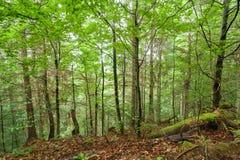 Sörja träd och ormbunkar som växer i den Carpathian djupa höglands- skogen Royaltyfri Bild