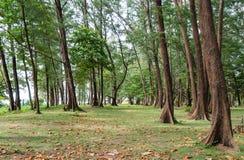 Sörja träd och tropiska stränder Mycket av sidor från havsbren arkivfoton