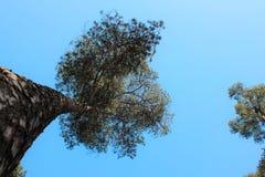 Sörja träd på bakgrund för blå himmel Royaltyfria Bilder