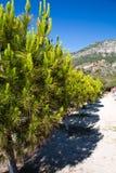 sörja träd på en sandig strand Royaltyfria Bilder