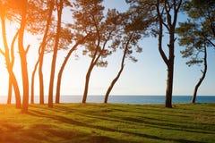 Sörja träd på havskusten på solnedgången Royaltyfri Bild