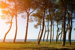 Sörja träd på havskusten på solnedgången Royaltyfri Fotografi