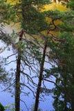 Sörja träd på sjön i den Nuksio nationalparken Royaltyfri Bild