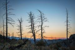 Sörja träd som bränns av löpelden Arkivbild