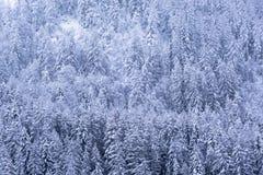 Sörja träd som täckas av ny snö som vänder dem vita Royaltyfri Bild
