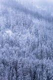 Sörja träd som täckas av ny snö som vänder dem vita Arkivbilder