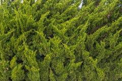 Sörja trädet Royaltyfria Foton