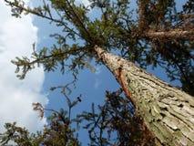 Sörja trädet Arkivfoton