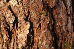 Sörja trädet Royaltyfri Fotografi