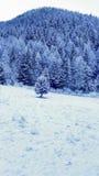 Sörja trädet Forest Covered med snö - berglandskap i vinter Royaltyfri Fotografi