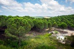 Sörja trädet Forrest i Montainsen av Turkiet Royaltyfri Bild