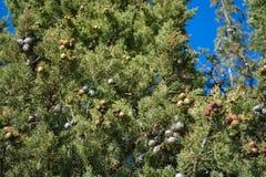 Sörja trädet i staden av Ohrid arkivbild