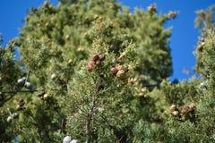 Sörja trädet i staden av Ohrid royaltyfri fotografi