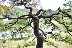 Sörja trädet i trädgård Arkivbild