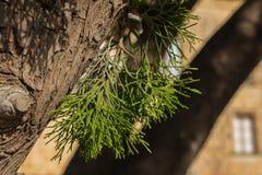 Sörja trädet lämnar makro skjuten royaltyfri fotografi
