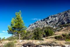 Sörja trädet med en klar blå himmel Royaltyfria Bilder
