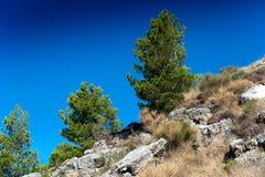Sörja trädet med en klar blå himmel Royaltyfri Fotografi