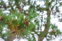 Sörja trädet med sörjer kottar kärnar ur den nya japanska skogen arkivfoto