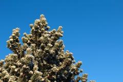 Sörja trädet med snö om den soliga vinterdagen Royaltyfri Foto